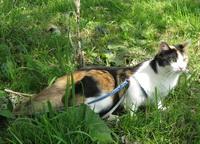 Кот который ходит на поводке
