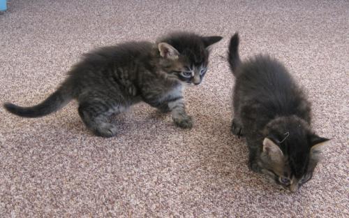 Темные котята