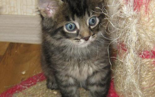 Темненький котенок окраса табби - классная фотка