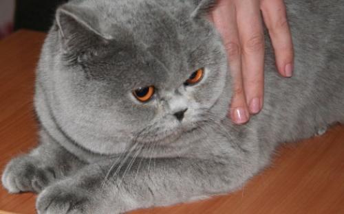 Британский короткошерстный кот