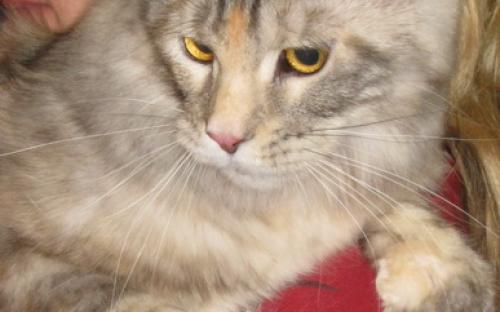 Кошка породы мейн-кун черепахового окраса