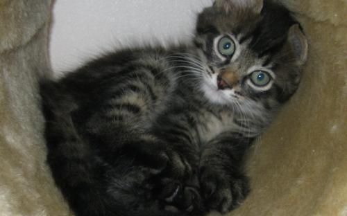Фото котенка табби в когтеточке