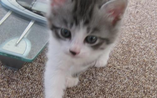 Серо-белый котенок