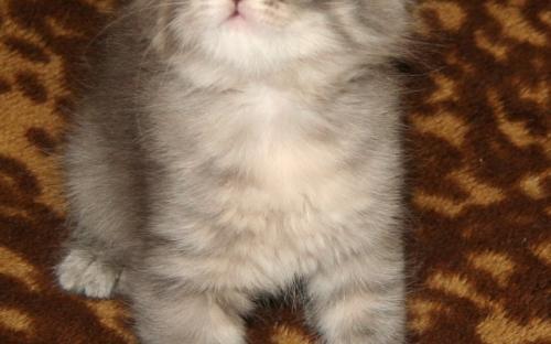 Серый котенок на пледе