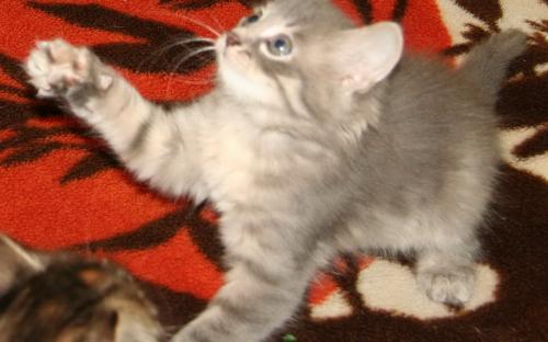 Серый котенок играет на пледе