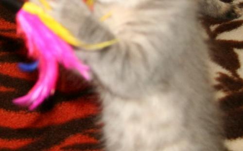 Серый котенок играет с перышками на пледе