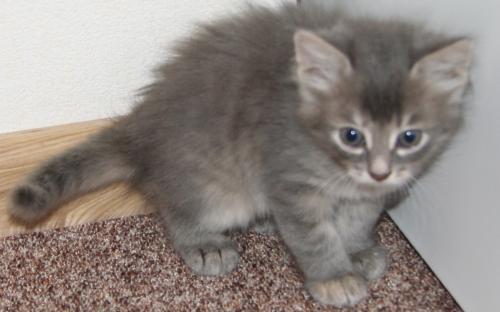 Фотка серого котенка