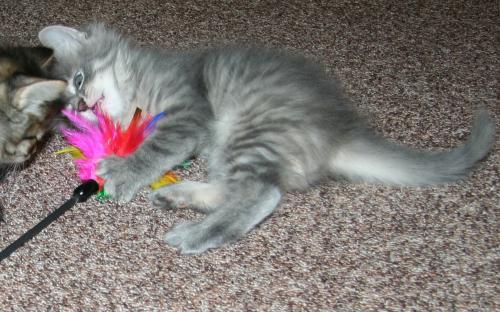 Серый котенок с игрушкой
