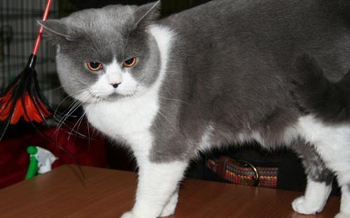 Кот породы британская короткошерстная