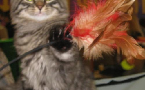 Котенок сибирской породы