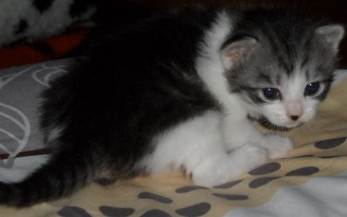 Маленький красивый серо-белый котенок - красивая фотка